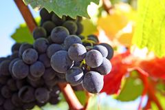 Grapes in Autumn. Ripe clusters of Pinot Noir grapes amongst fall colored leaves Stock Images