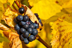 Grapes in Autumn. Ripe grapes in late autumn in a Swiss vineyard Royalty Free Stock Image