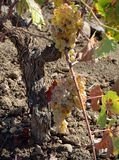 Grapes in autumn. Grapes in a vineyard Spanish stock photos