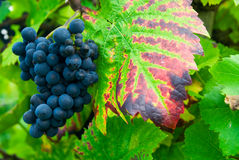 Grapes in autumn Stock Photography