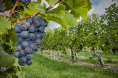 Grapes-autumn colors. Colorful autumn in vineyard with grapes in foreground Royalty Free Stock Photo