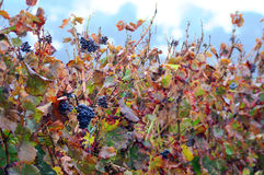 Grapes and Autumn leaves Stock Photo