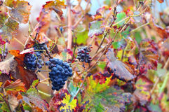 Grapes and Autumn leaves Royalty Free Stock Photo