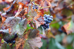 Grapes and Autumn leaves Stock Image