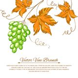 Grapes with autumn leaves around the grapes. Stock Photos