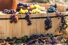 Grapes. Autumn scene Royalty Free Stock Photo