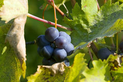 Grapes in autumn Stock Images