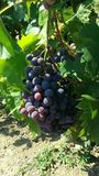 Grapes. Autumn, wine, fruits, garden Stock Images