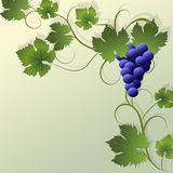Grapes background. Stock Image