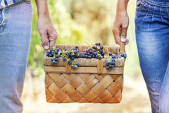 Grapes in a basket carried by two hands Stock Photography