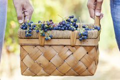 Grapes in a basket carried by two hands Stock Images