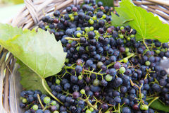 Grapes in basket Stock Photography