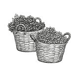 Grapes in baskets. Stock Image