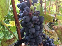 Grapes. Beautiful organic red grapes Royalty Free Stock Photography