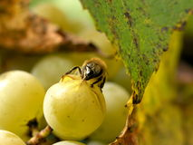Grapes and bee Royalty Free Stock Photos