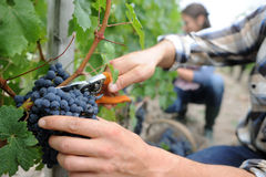 Grapes being cut from row royalty free stock image