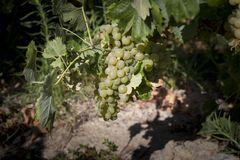 Grapes before being harvested. In a sunny day royalty free stock image
