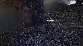 Grapes being unloaded at vineyard stock video