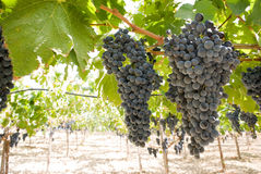Grapes of black vine Stock Photos