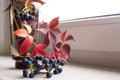 Grapes blue berries red leaves close-up macro texture. Glass vase blue berries still life autumn macro bokeh background red leaves royalty free stock photography