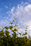 Grapes and the blue sky. Detail of some grapes leaves and the cloud s on a blue sky Royalty Free Stock Photography