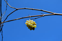Grapes and blue sky. Grapes remained for photos. The last grapes are the sweetest stock photography