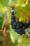 Grapes. Blue grapes on a vineyard in summer time Royalty Free Stock Images