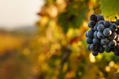 Grapes in the vinyard at fall, grapes with blurred background royalty free stock photos