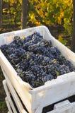 Grapes box Stock Image
