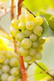 Grapes on a branch Stock Images