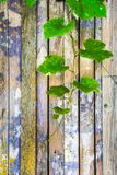 Grapes branch on the background of the old wooden wall royalty free stock image