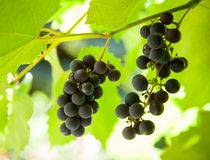 Grapes on a branch Stock Photography