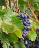 Grapes on a branch. Bunch of grapes in the raindrops. Fruit close-up. It`s time to make wine stock images