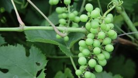 Grapes on a branch. Bunch of green unripe grapes on a branch in a garden