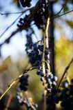 Grapes on a branch Stock Image