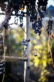 Grapes on a branch Royalty Free Stock Photo
