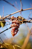 Grapes on a branch Royalty Free Stock Photos