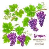 Grapes vector set Royalty Free Stock Photos