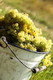 Grapes with bucket Stock Image