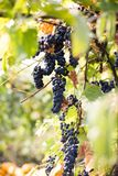 Grapes. Bunch of blue grapes on a branch Royalty Free Stock Photo