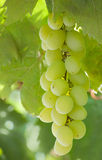 Grapes, bunch of grapes Stock Photo