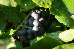 Grapes. Bunch of green leaf flora berry wine Royalty Free Stock Image