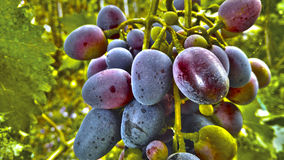 Grapes. Bunch of grapes ready to become wine royalty free stock photo