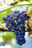 Grapes. Bunch of ripe dark grapes Stock Photography