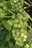Grapes. Green grapes growing in the garden Stock Photos