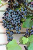 Grapes. Black grapes growing in the garden Stock Photography
