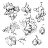 Grapes bunch sketch stock illustration