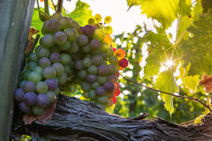 Grapes bunch Stock Photography