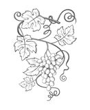 Grapes bunches image. Image of grapes with bunches and leaves vector illustration