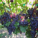 Grapes. Cabernet Franc Grapes on the vine stock image